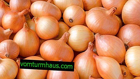 Rysy pěstování a péče o shetanskou cibuli