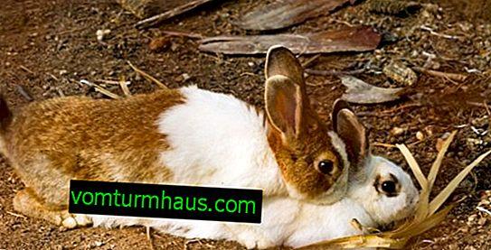 Ako králiky pária: v akom veku a ako králiky