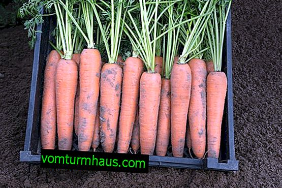 Funktioner av odling och morotvård Berlikum Royal