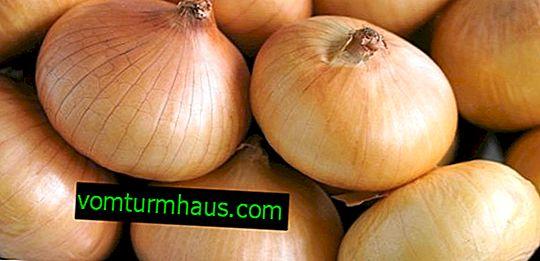 Caractéristiques des variétés d'oignons en croissance Corrado