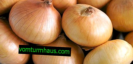 Merkmale der wachsenden Zwiebelsorten Corrado