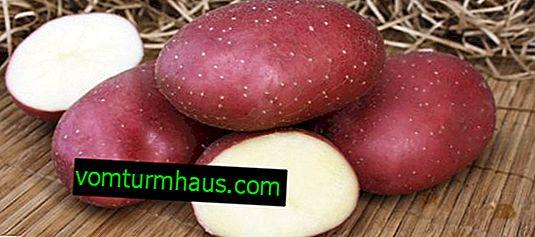 Potatisfyr: egenskaper hos sorten, funktioner för odling och planteringsvård