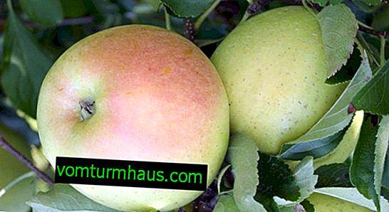 Podrobné vlastnosti a vlastnosti pěstování jabloní Snow Calvil
