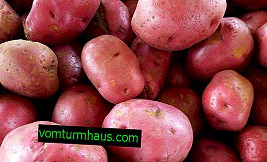 Potatis variation Courage - funktioner och beskrivning