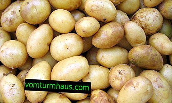 Patates Labadia: Çeşit Karakterizasyonu, Büyüme ve Dikim Bakımı