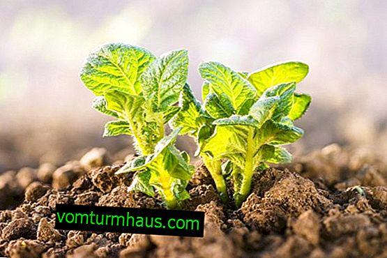Opis i charakterystyka odmiany ziemniaków Krepysh