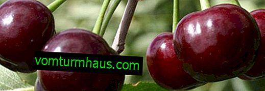 Botanisk beskrivning och funktioner hos växande Xenia-körsbär