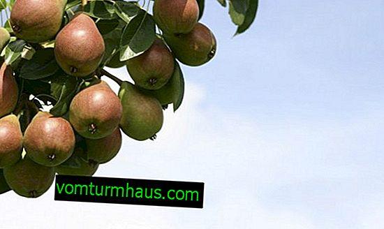 Funktioner av odling och botanisk beskrivning av Svarog-päronvarianter