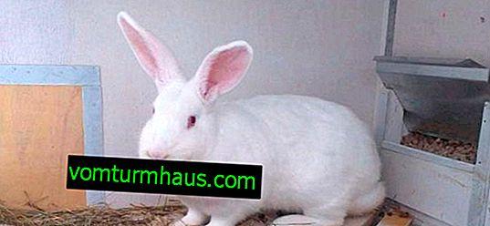 Vit pannon kanin: beskrivning, avel och vård