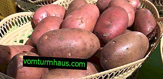 Pomme de terre Azhur: description et caractéristiques, technologie agricole, plantation et soin