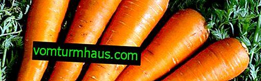 Detaljerede egenskaber og landbrugsteknologi til dyrkning af gulerødder af Kuroda-sorten