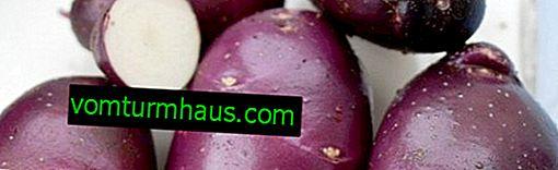 Odmiana ziemniaka Chaber: opis i cechy