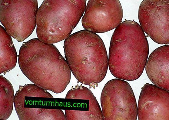Kartoffel-Rosalinde: Beschreibung und Eigenschaften, Merkmale des Kartoffelanbaus