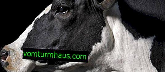 Pričakovana življenjska doba krav in bikov