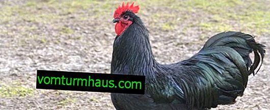 Moskauer schwarze Hühnerrasse: Eigenschaften und Beschreibung, Merkmale des Inhalts