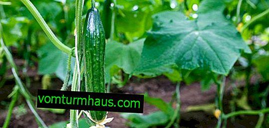 Varietà di cetrioli Stella: descrizione, caratteristiche, coltivazione e cura