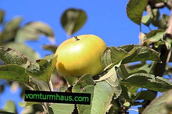 Caractéristiques de la plantation et des soins de la variété de pomme Verbnoe