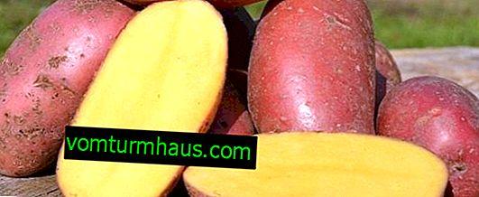 Variété de pomme de terre Red Fantasy: description botanique, technologie agricole de culture et de soin