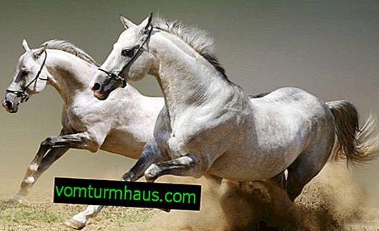 Peso do cavalo: indicadores médios, características de medição