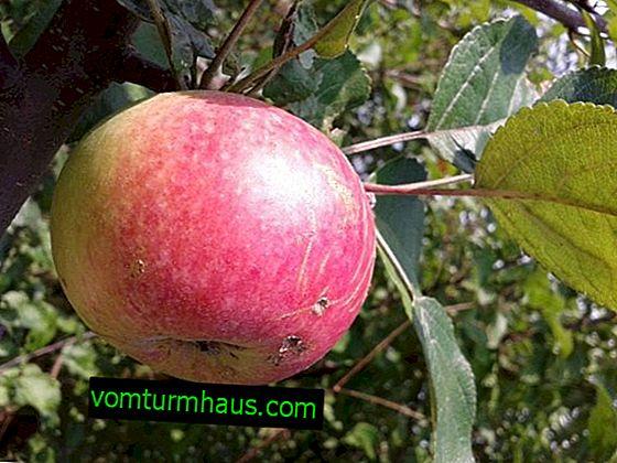 Olika äppelträd Bessemyanka Michurinskaya: beskrivning och detaljerad beskrivning, växande regler