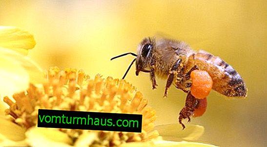 Hvilken klasse hører en bi til?