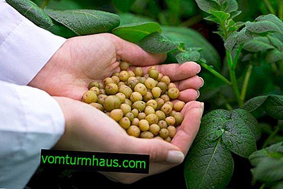 Особености на събиране на картофени семена