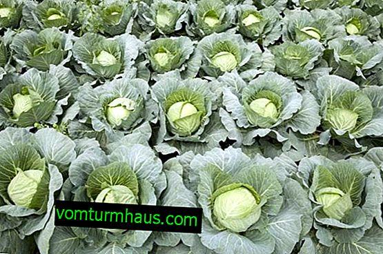 Kapusta Gloria: cechy i cechy odmiany, uprawy i pielęgnacji