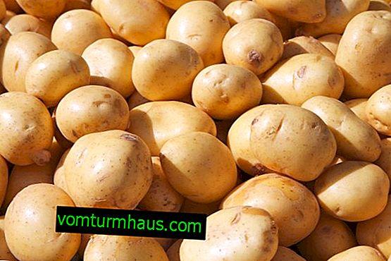 Potatisbonde: egenskaper och egenskaper hos odlingssorter