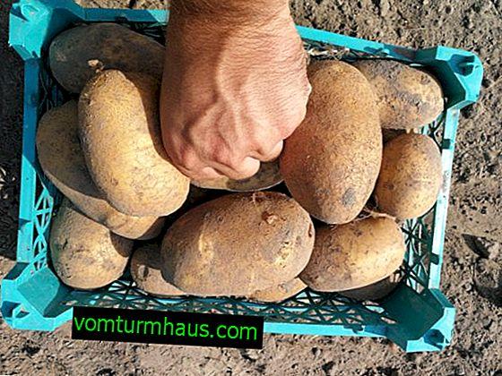 Odrůda brambor Banba: botanický popis, zemědělská technologie pěstování a péče
