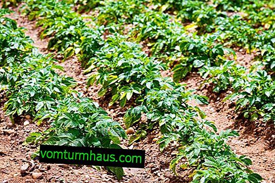 Hostess di patate: descrizione e caratteristiche, impianto agricolo e cura