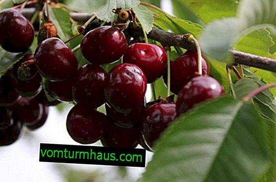 Har plantering och vård av körsbär Revna