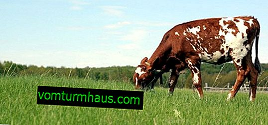 What methods to determine a cow's pregnancy at home