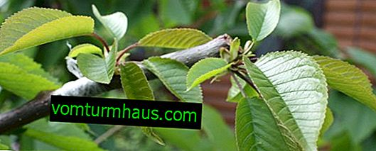 Vaccinazione delle ciliegie sulle ciliegie in primavera ed estate