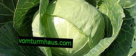 Zelje Ankoma: značilnosti in značilnosti sorte, gojenje in nega
