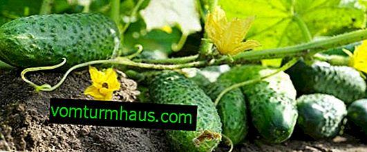 Разнообразие от краставици Tumi F1: описание, отглеждане и грижи