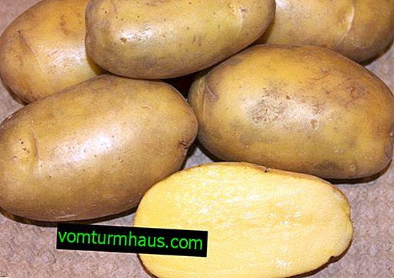 Сорт картофи Gulliver: характеристики, земеделско отглеждане