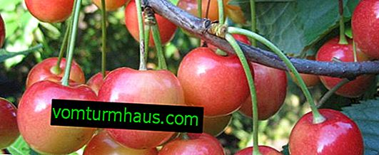 Funkcje sadzenia i pielęgnacji wiśni Fatezh