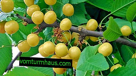 Caractéristiques de la culture et des soins des cerises Chermashnaya