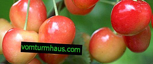 Funkcje sadzenia i pielęgnacji wiśni Julia