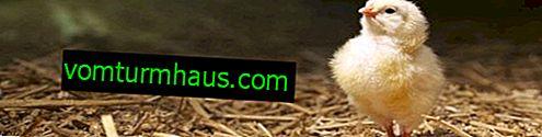 Násadka kurčiat: načasovanie, ďalšia starostlivosť a kŕmenie, denný vývoj