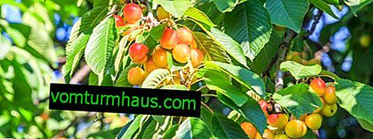 Domowe czereśnie: opis, cechy sadzenia i pielęgnacji