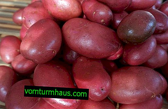 Krompir Alena: značilnosti in značilnosti gojenja sort