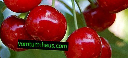 Cechy uprawy i pielęgnacji czereśni Lapinsa