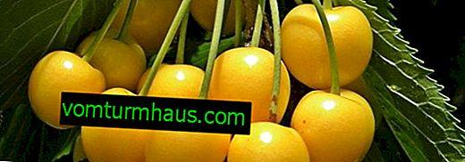 Cechy pielęgnacji i uprawy wiśni bursztynu Orlovskaya