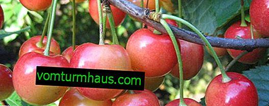 Funkce výsadby a péče o třešně Gostinets
