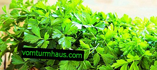 Features of planting and care of parsley Italian giant