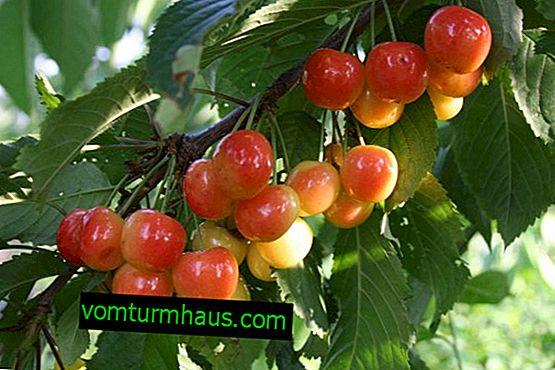 Indeholder plantning og pleje af kirsebær Franz Joseph