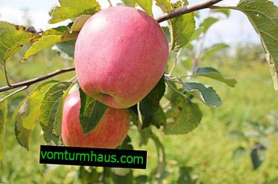 Æppeltræ Ulyanischevs hukommelse: beskrivelse og detaljeret beskrivelse, kultiveringsfunktioner
