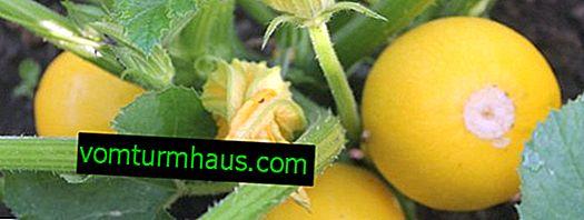 Zawiera odmiany cukinii Orange