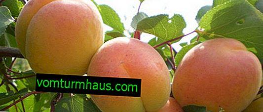 Značilnosti gojenja in skrbi za marelične sorte Melitopol zgodaj